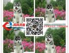 三火蓝眼哈士奇幼犬出售 黑白灰白色 宠物狗活体