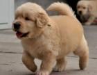 福州本地犬舍出售精品金毛犬包纯包健康签协议三年包换