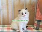 咸阳哪些宠物店出售布偶猫健康便宜 咸阳哪里卖好的布偶猫价格