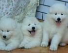 澳版双眼皮品相好 双血统萨摩耶幼犬协议保障微笑天使