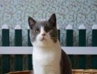 英国短毛猫蓝白DD 萌萌的正八字包子脸
