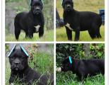 品质品质双血统卡斯罗犬 皇家护卫犬 犬舍认证