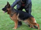 出售纯种牧羊犬 黑背犬幼犬 品质好质量保证