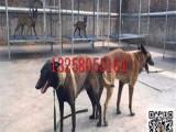 湛江三四个月的莱州红犬价格图片 大头版莱州红犬幼崽多少钱