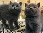 藍貓(自家悉心繁育,不是貓代理)