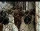 肉狗苗小狗崽肉食狗出售500只