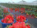 温室大棚种植-草莓立体栽培技术-安平华耀