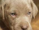 出专业繁殖威玛猎犬 血统纯正 疫苗齐全 品质保证