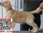 郑州直销金毛幼犬终生包纯种包健康好养活签协议