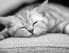 烟台 哪里有美短猫虎斑加白卖纯血统萌翻你的眼球 品质保障
