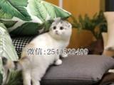 青岛什么地方有出售纯种的折耳猫的 青岛哪里有卖折耳猫
