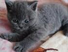 英短蓝猫折耳猫