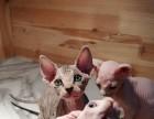 无毛猫幼猫出售 气质猫 疫苗全 包健康