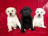 宠物狗 精品拉布拉多幼犬狗狗出售 包纯种 包健康