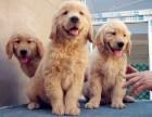 純種金毛幼犬 包健康好養.購買簽協議.疫苗齊