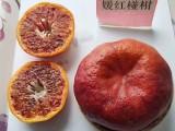 內江媛紅椪柑苗,媛紅椪柑苗供應,內江種柑桔苗