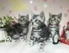 纯种短猫转让 疫苗齐全 公母可挑选