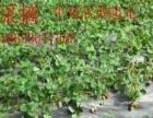 体验农家乐快乐摘草莓