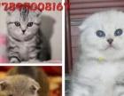 虎斑渐层优雅 波斯猫 热售 赛级品质纯种健康有保障
