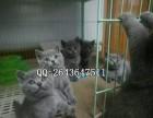 重庆什么地方有卖宠物猫蓝猫 纯种蓝猫价格
