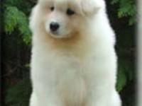 精品萨摩幼犬~疫苗齐全~协议质保免费送货上门