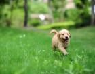 金毛幼犬 大骨量 宽嘴型 绝对纯种 随时选购