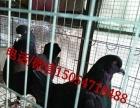 肉鸽种鸽价格种鸽养殖场