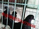 肉鸽种鸽出售、种鸽一对多少钱、鸽子养殖场