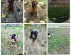 西木训犬狗狗寄养训练优惠活动,上门接送