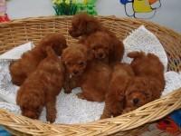 松江祥瑞犬业出售纯种微小体玩具红泰迪幼犬