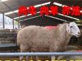 农村波尔山羊的利润怎么样