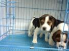 出售纯种比格犬 米格鲁犬 包健康包纯种
