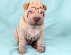 出售纯种沙皮幼犬活体憨厚短腿沙皮犬褶皱家养沙皮