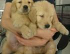 纯种金毛犬,颜色品种齐全证健康纯种,疫苗驱虫已做