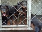 沧州哪里出售莱州红犬,多少钱一只苏联红犬