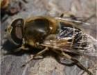 蜜蜂养殖有讲究掌握关键蜂蜜产量节节高