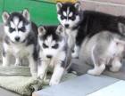 纯种二货哈士奇幼犬出售 雪橇中型犬 宠物小狗狗活体
