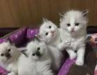 养殖场直销高贵气质布偶猫出售中包纯种保健康包活