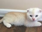 奶黄色折耳小猫