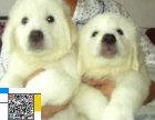 纯种大白熊幼犬 纯种大白熊犬 家养宠物狗狗大白熊狗 大型狗狗