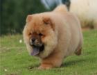 哪里出售纯种高品质 松狮 健康可来基地挑选