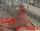 漳县阳光鸽业出售寿星鸽,黄金鱼,红金鱼,白芙蓉,凤尾,墨环等