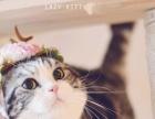 纯血统美短加白小奶猫