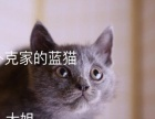 自家繁育英短蓝猫出售