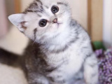 安徽池州纯种美国短毛猫幼猫包邮出售
