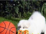 顺德区哪里有卖萨摩耶幼犬纯种萨摩耶多少钱一只萨摩耶价格