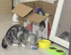美短成年公猫母猫寻找铲屎官