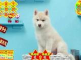 三火蓝眼哈士奇雪橇犬,灰白黑白多只可挑选,健康