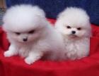郑州本地犬舍出售纯种 博美幼犬 同城可送货 保存活