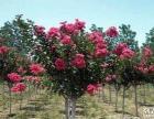 出售一年生紫薇苗木可做盆景 花期90·150天